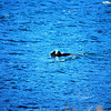 2-28-14  Otters, blintzes,  Zachar Bay AK 021