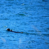 2-28-14  Otters, blintzes,  Zachar Bay AK 019