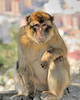 Barbary Ape (macaque) of Gibralter <br /> Andalusia, Spain