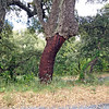 """<span style=""""color:yellow;"""">Cork tree with bark harvested.  </span>"""