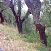 """<span style=""""color:yellow;"""">A surprising find during our drive up the mountains - cork trees!  They have been recently harvested for their cork bark.  </span>"""