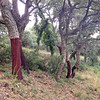 """<span style=""""color:yellow;"""">Cork trees with bark recently harvested.  </span>"""