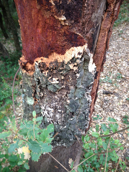 """<span style=""""color:yellow;"""">Closeup of cork tree with harvested bark.  </span>"""