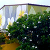 Plumeria Mural and Plumeria Tree<br /> <br /> Hilo Hattie<br /> Honolulu, O'ahu<br /> 17 July 2014