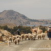 Leading Animals to Greener Pastures - Yampupata, Lake Titicaca, Bolivia
