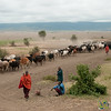Masai Driving Cattle from Water - Arusha, Tanzania