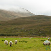 Connemara Landscapes and Sheep - County Galway, Ireland