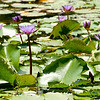Water Lillies at Madhubpur Lake - Bangladesh