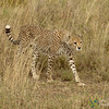 Cheetah Walking Through Tall Grass - Serengeti, Tanzania