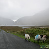 Connemara Sheep and Landscape - County Galway, Ireland
