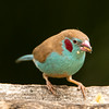 Red-cheeked cordon-bleu