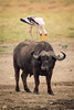 Then there were two Yellow-billed Storks living symbiotically with the cape buffalo by cleaning his back of insects.