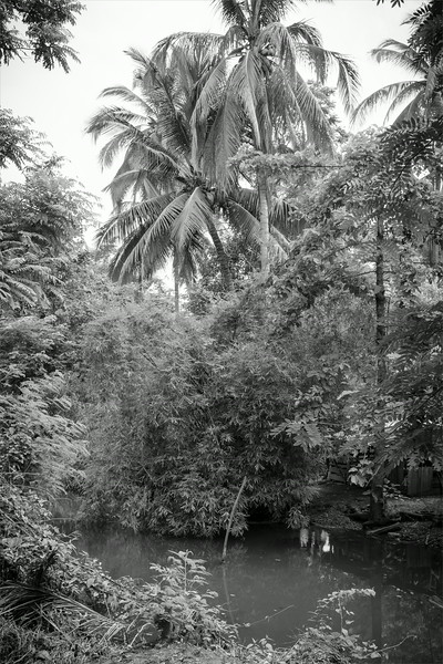 Palm trees just before harvesting coconut in Thai countryside
