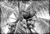Burmese man on palm tree during harvest of coconut in Thai count