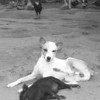 Dog and Pig - Baracoa, Cuba