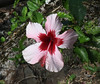 HIbiscus.  Did you know they came in such a wide variety of colors?