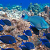 blue_tangs + queen parrotfish