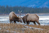 Sparring Elk, Athabasca River, Jasper National Park