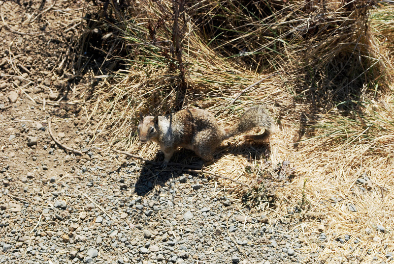 2010-08-23 San Simeon Beach California ground squirrel 1