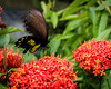 INSECT - butterfly feeding on ixora-1694