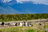 A single King Penguin (Aptenodytes patagonicus) in a Gentoo Penguin (Pygoscellis papua) colony on Martillo Island in the Beagle Channel, southern Patagonia, Argentina