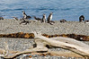 Magellanic Penguins in southern Patagonia