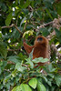 MONKEY - Red leaf monkey-2352