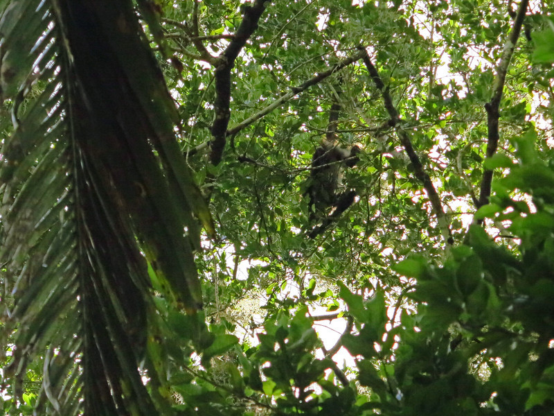 Chacchoben Mayan Ruins has spider monkeys