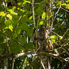 MONKEYS - Macaque long tail -0426