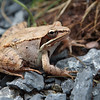 988 While we were hiking we encountered this strikingly patterned wood frog.