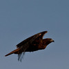 Hawk in flight at Bosque del Apache