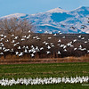 Snow and Canadian geese at Bosque del Apache