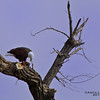 Bald eagle at Bosque del Apache; eating dinner.