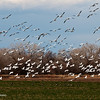 Snow geese flying in at Bosque del Apache