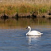 Swan in the Firehole River, Yellowstone NP