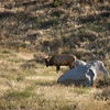 Elk North of Gardiner, MT