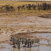 Etosha National Park, Namibia A herd of Plains Zebras drink at a water hole in Etosha National Park.