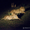 Young male lion, lioness and mother