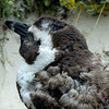 671 Young African Penguin, Cape Point Peninsula