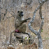 148 The first Baboon, Kruger National Park