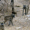 149 Baboons, Kruger National Park
