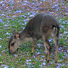 241 Blue Duiker, Reilly's Rock Lodge, Swaziland