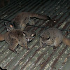 251 Bush Babies, Reilly's Rock Hilltop Lodge, Swaziland