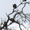 123 Vultures, Kruger National Park