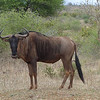 127 The first Wildebeest, Kruger National Park