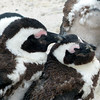 683 African Penguins, Cape Point Peninsula