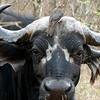 119 Cape Buffalo, Kruger National Park