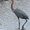 162 Goliath Heron, Kruger National Park