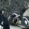 687 African Penguins, Cape Point Peninsula