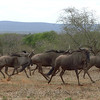131 Wildebeest, Kruger National Park